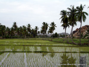 Paddy filed in Anegondi